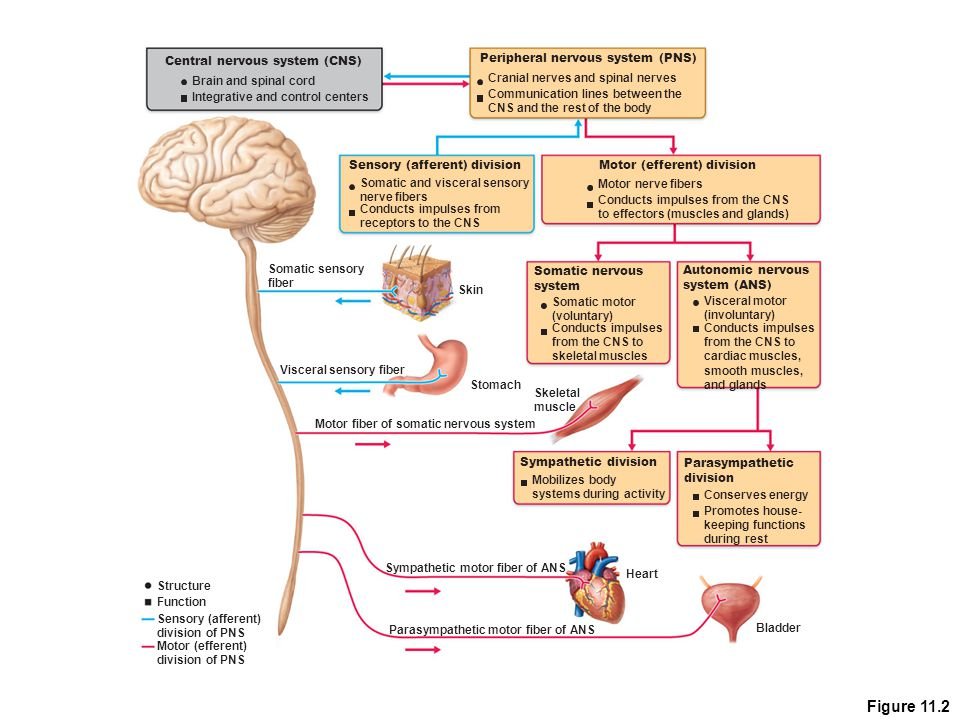 Figure 11.2 Central nervous system (CNS) Brain and spinal cord Integrative and control centers Peripheral nervous system (PNS) Cranial nerves and spin