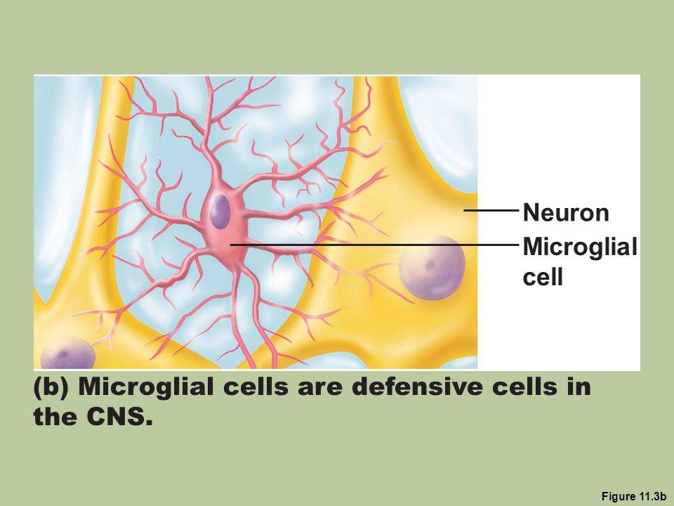 Figure 11.3b (b) Microglial cells are defensive cells in the CNS. Neuron Microglial cell