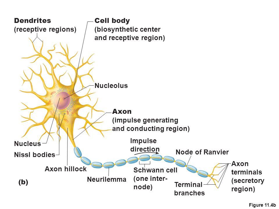Figure 11.4b Dendrites (receptive regions) Cell body (biosynthetic center and receptive region) Nucleolus Nucleus Nissl bodies Axon (impulse generatin