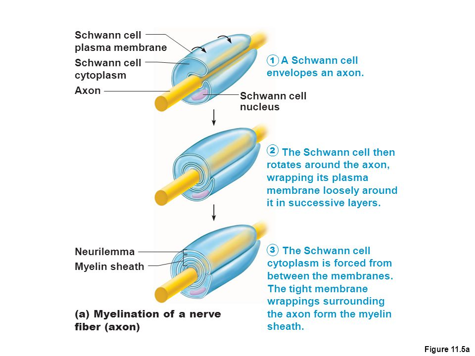 Figure 11.5a (a) Myelination of a nerve fiber (axon) Schwann cell cytoplasm Axon Neurilemma Myelin sheath Schwann cell nucleus Schwann cell plasma mem