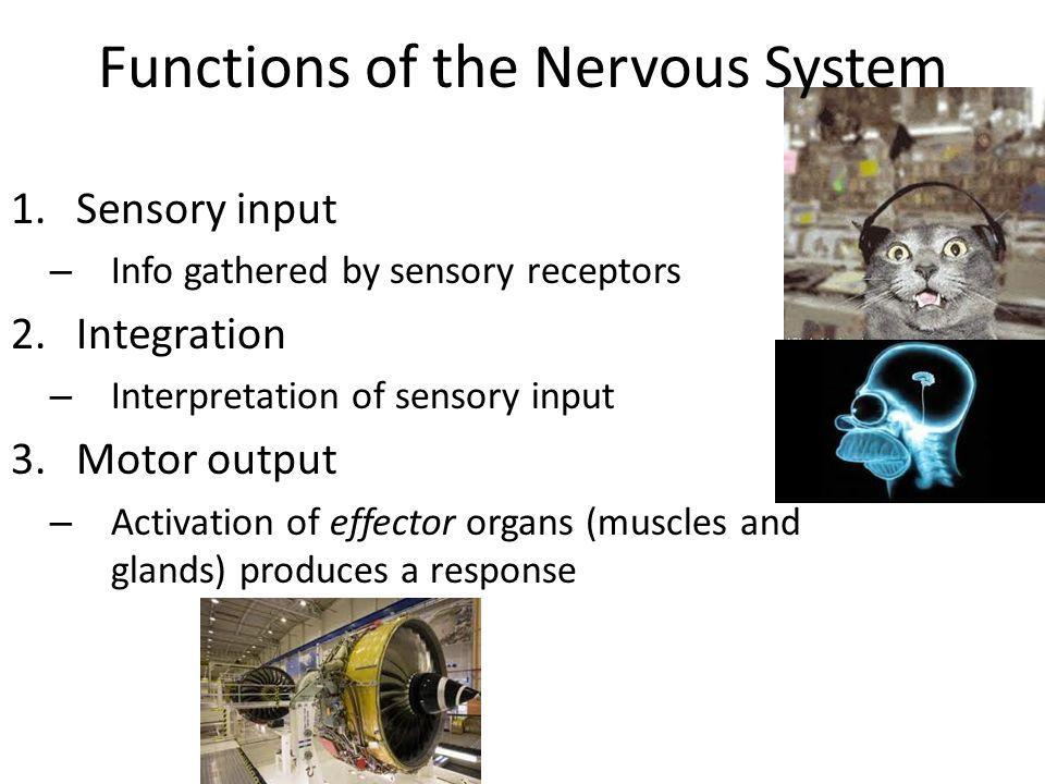Functions of the Nervous System 1.Sensory input – Info gathered by sensory receptors 2.Integration – Interpretation of sensory input 3.Motor output –