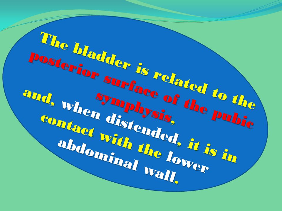 The bladder is related to the posterior surface of the pubic symphysis, and, when distended, it is in contact with the lower abdominal wall.