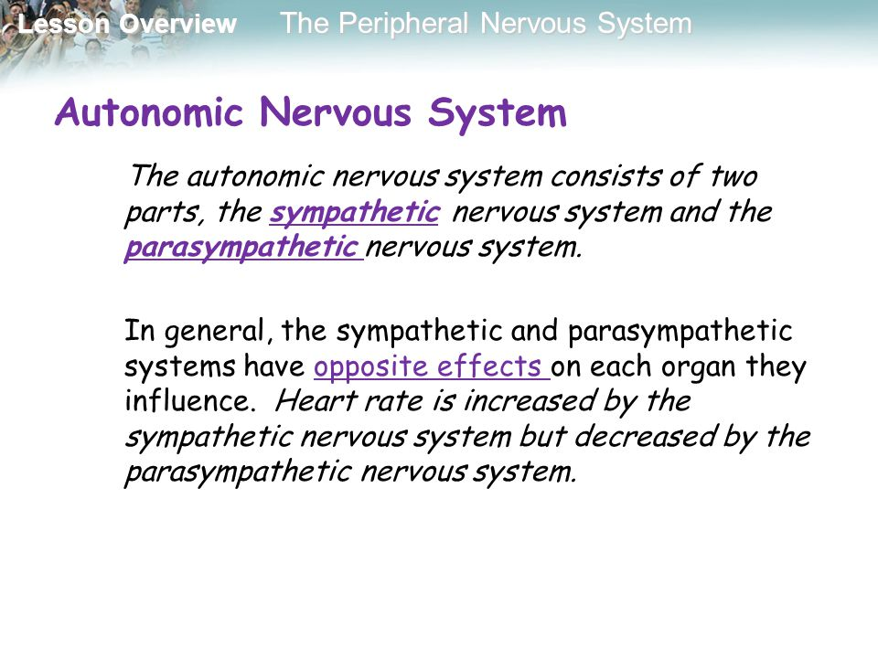 Lesson Overview Lesson Overview The Peripheral Nervous System Autonomic Nervous System The autonomic nervous system consists of two parts, the sympath