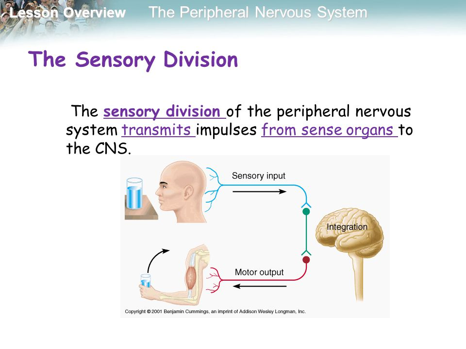 Lesson Overview Lesson Overview The Peripheral Nervous System The Sensory Division The sensory division of the peripheral nervous system transmits imp