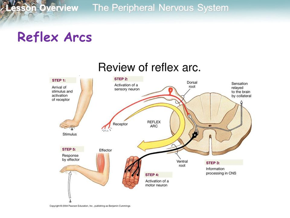 Lesson Overview Lesson Overview The Peripheral Nervous System Autonomic Nervous System The autonomic nervous system regulates activities that are involuntary, or not under conscious control.