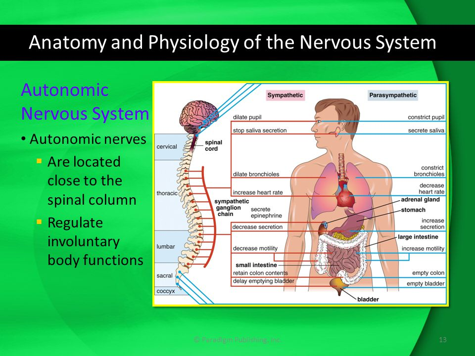 Anatomy and Physiology of the Nervous System © Paradigm Publishing, Inc.13 Autonomic Nervous System Autonomic nerves  Are located close to the spinal column  Regulate involuntary body functions