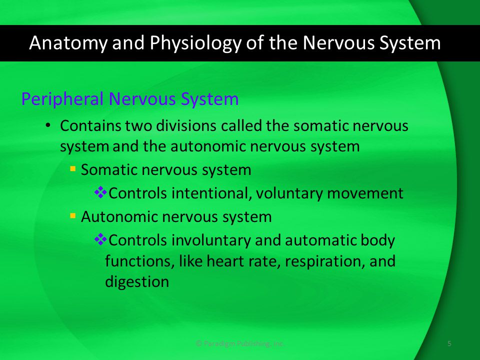 Anatomy and Physiology of the Nervous System Peripheral Nervous System Contains two divisions called the somatic nervous system and the autonomic nervous system  Somatic nervous system  Controls intentional, voluntary movement  Autonomic nervous system  Controls involuntary and automatic body functions, like heart rate, respiration, and digestion 5© Paradigm Publishing, Inc.