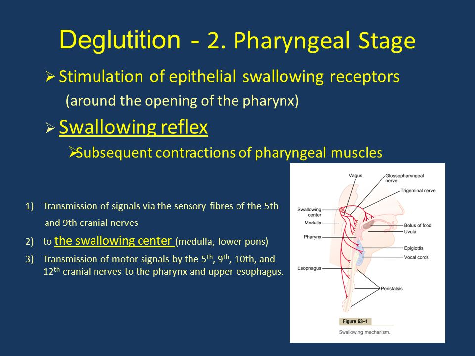Deglutition - 2. Pharyngeal Stage 1)Transmission of signals via the sensory fibres of the 5th and 9th cranial nerves 2)to the swallowing center (medul
