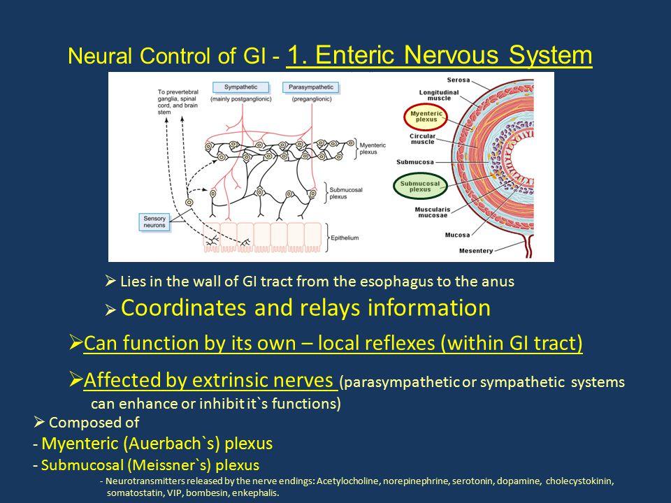 Neural Control of GI - 1. Enteric Nervous System  Composed of - Myenteric (Auerbach`s) plexus - Submucosal (Meissner`s) plexus - Neurotransmitters re