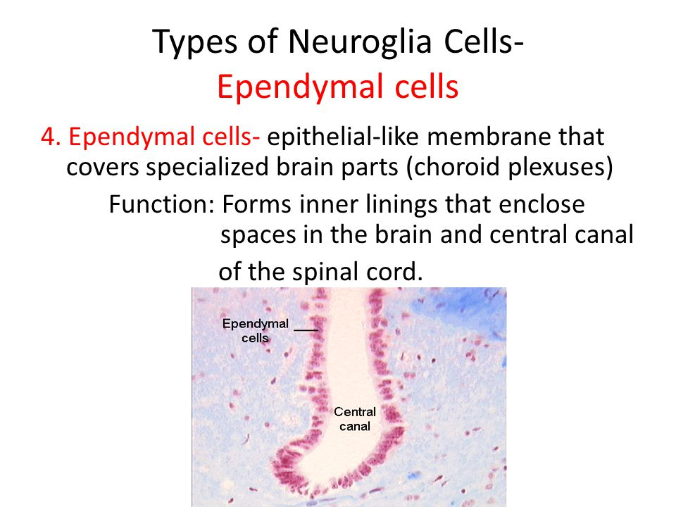 Types of Neuroglia Cells- Ependymal cells 4.