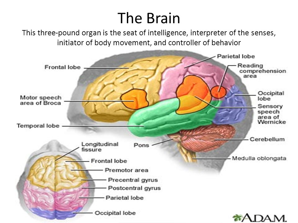 The Brain This three-pound organ is the seat of intelligence, interpreter of the senses, initiator of body movement, and controller of behavior