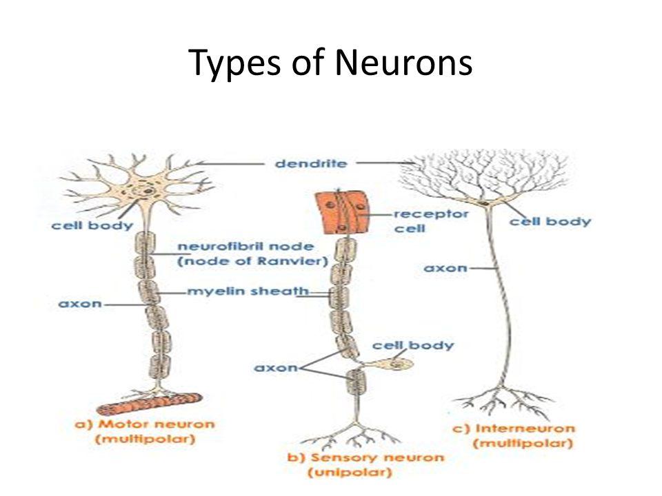 Types of Neuroglia Cells- Astrocytes 3.