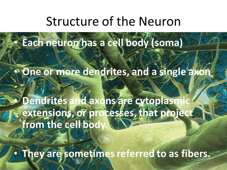 Types of Neuroglia Cells- Ependymal cells 4.