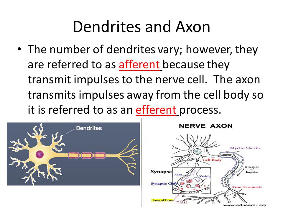 Dendrites and Axon The number of dendrites vary; however, they are referred to as afferent because they transmit impulses to the nerve cell.