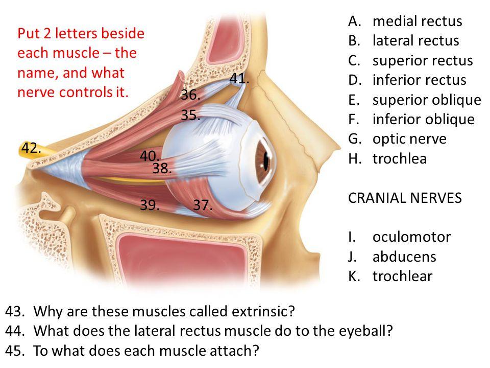 A.medial rectus B.lateral rectus C.superior rectus D.inferior rectus E.superior oblique F.inferior oblique G.optic nerve H.trochlea CRANIAL NERVES I.oculomotor J.abducens K.trochlear 43.