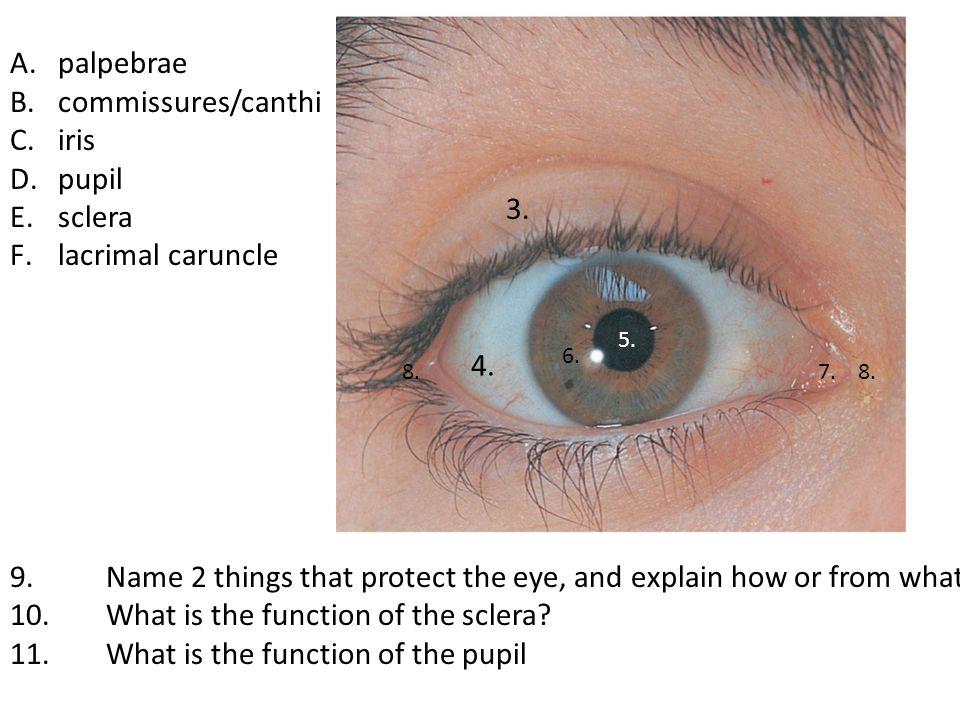 A.palpebrae B.commissures/canthi C.iris D.pupil E.sclera F.lacrimal caruncle 9.