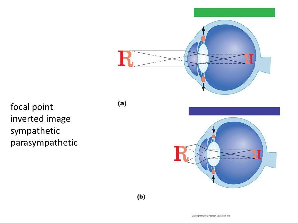 focal point inverted image sympathetic parasympathetic