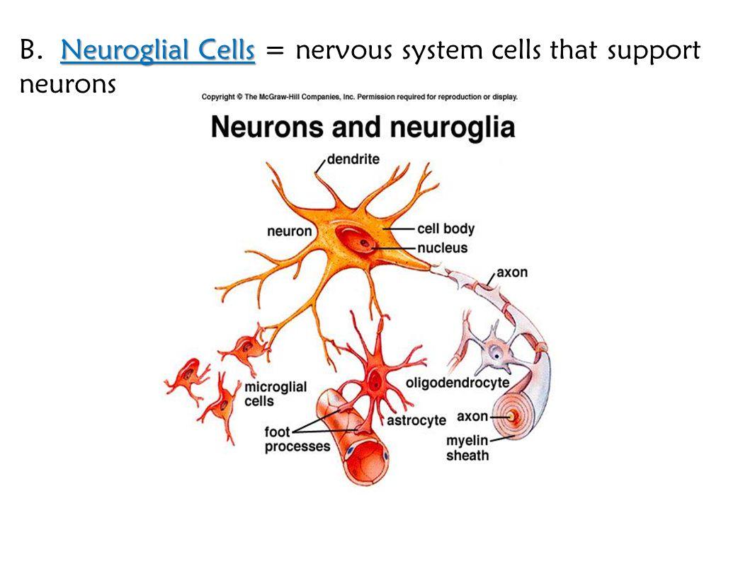 Neuroglial Cells B. Neuroglial Cells = nervous system cells that support neurons