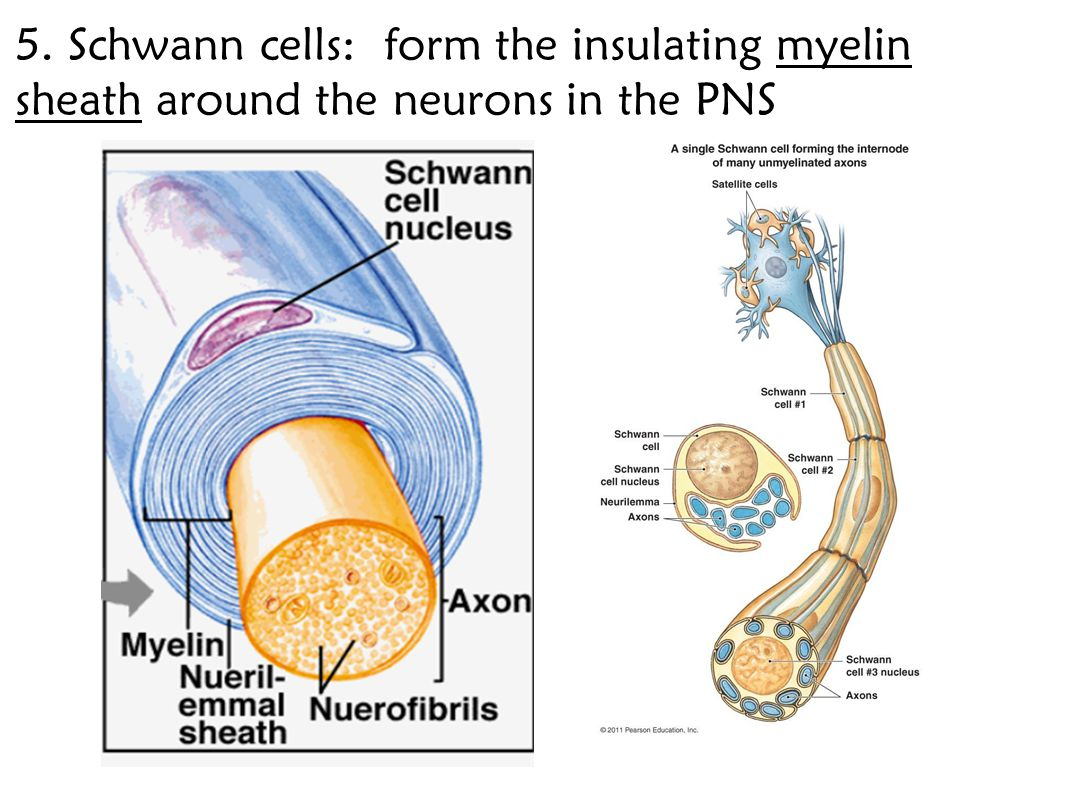 5. Schwann cells: form the insulating myelin sheath around the neurons in the PNS