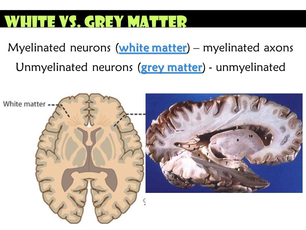 White vs. Grey Matter white matter Myelinated neurons (white matter) – myelinated axons grey matter Unmyelinated neurons (grey matter) - unmyelinated