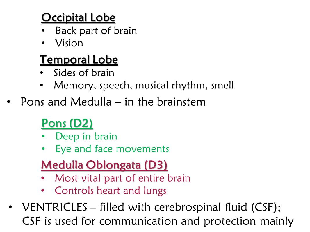 Temporal Lobe Sides of brain Memory, speech, musical rhythm, smell Pons and Medulla – in the brainstem Pons (D2) Deep in brain Eye and face movements