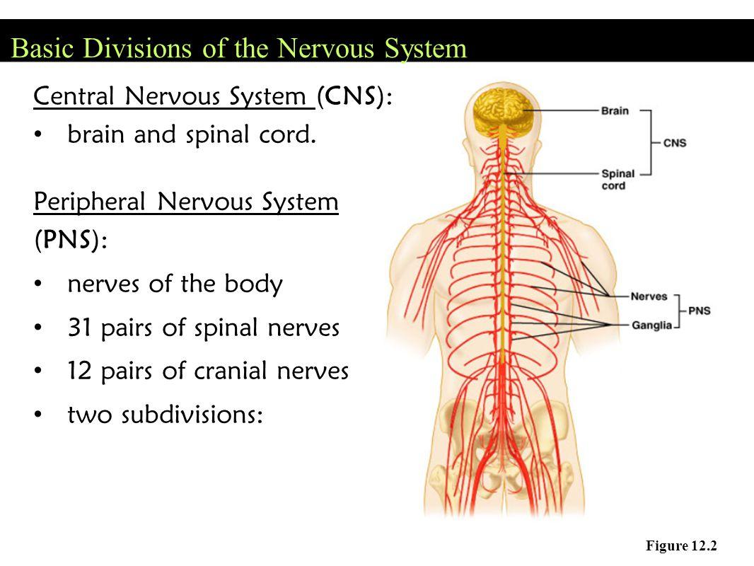Steps of a Nerve Impulse 1.Neuron is at rest at -70mV 2.
