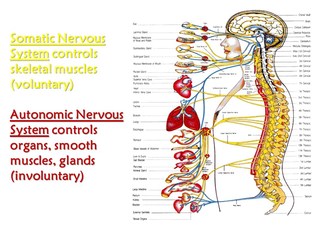A.Central Nervous System B.Peripheral Nervous System C.Brain (yellow) D.Spinal Cord (light blue) E1.