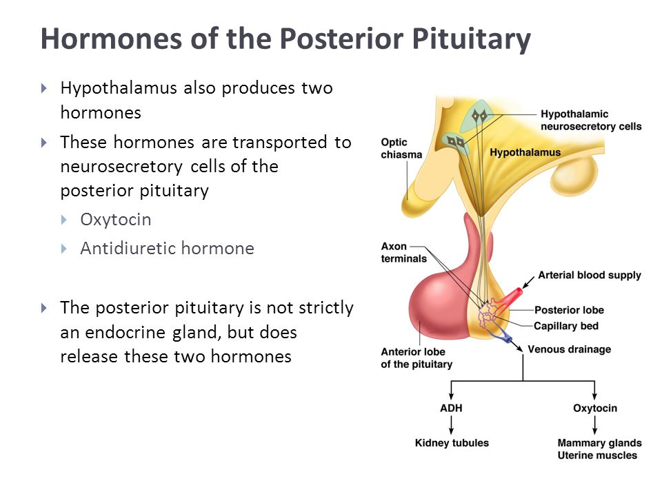 Hormones of the Posterior Pituitary  Hypothalamus also produces two hormones  These hormones are transported to neurosecretory cells of the posterior pituitary  Oxytocin  Antidiuretic hormone  The posterior pituitary is not strictly an endocrine gland, but does release these two hormones