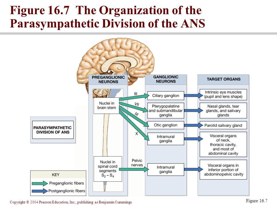 Copyright © 2004 Pearson Education, Inc., publishing as Benjamin Cummings Figure 16.7 Figure 16.7 The Organization of the Parasympathetic Division of the ANS