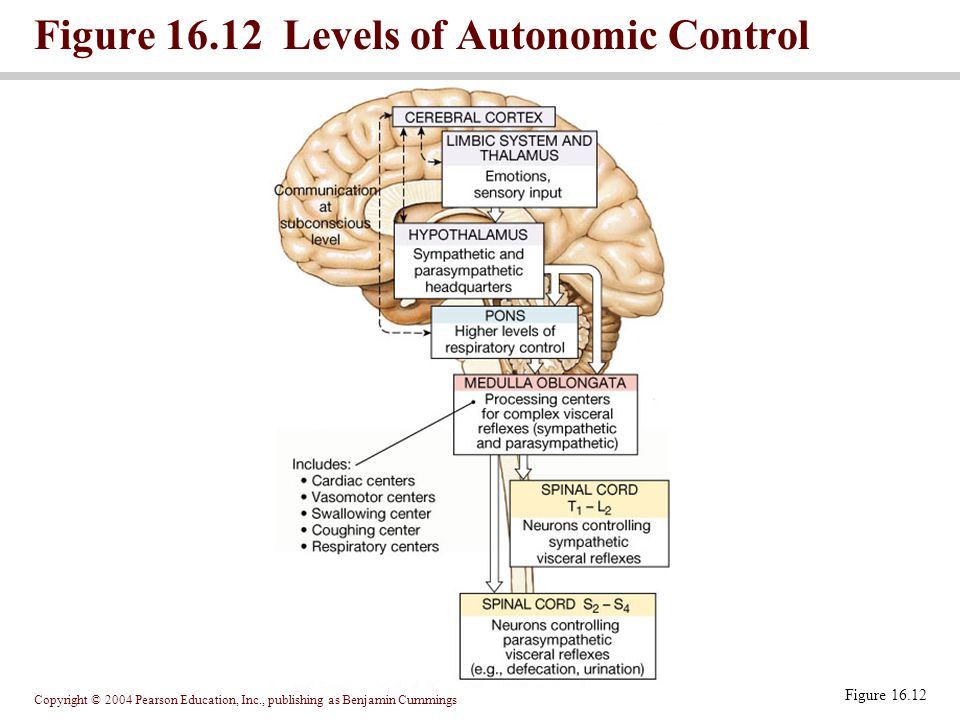 Copyright © 2004 Pearson Education, Inc., publishing as Benjamin Cummings Figure 16.12 Levels of Autonomic Control Figure 16.12
