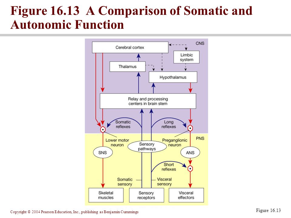 Copyright © 2004 Pearson Education, Inc., publishing as Benjamin Cummings Figure 16.13 Figure 16.13 A Comparison of Somatic and Autonomic Function