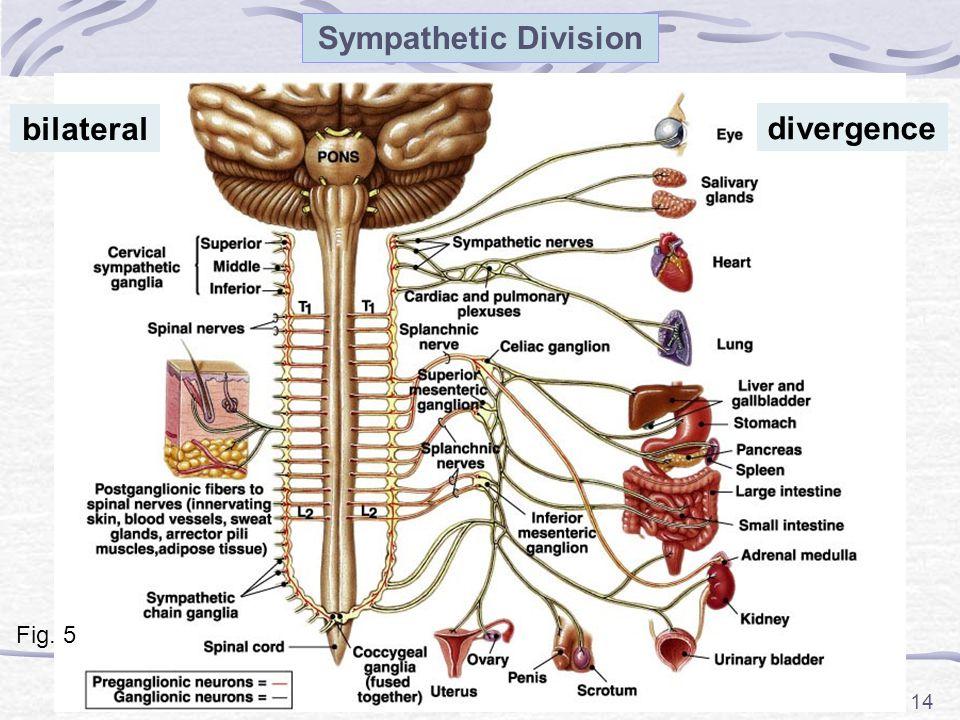 14 Sympathetic Division Fig. 5 bilateral divergence