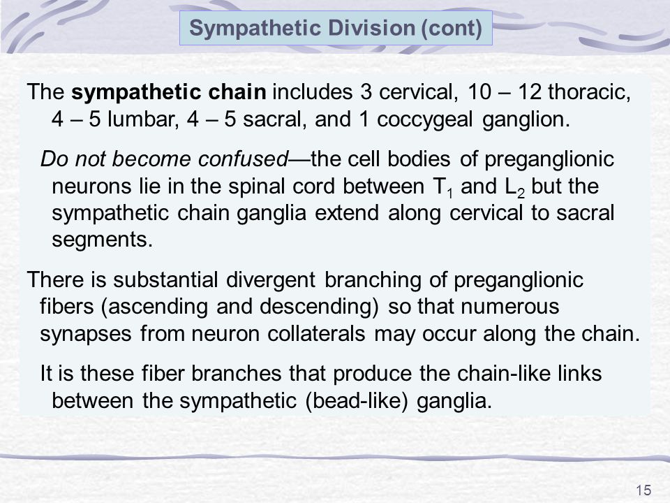 15 The sympathetic chain includes 3 cervical, 10 – 12 thoracic, 4 – 5 lumbar, 4 – 5 sacral, and 1 coccygeal ganglion.