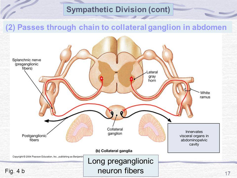 17 (2) Passes through chain to collateral ganglion in abdomen Sympathetic Division (cont) Long preganglionic neuron fibers Fig.
