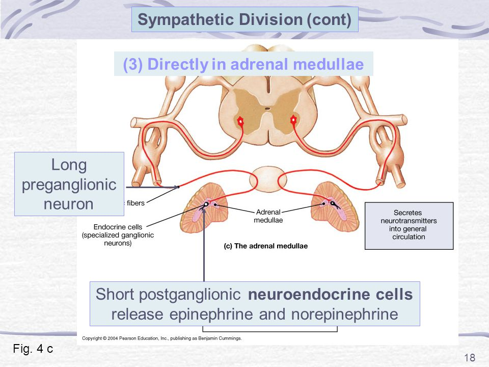 18 (3) Directly in adrenal medullae Long preganglionic neuron Short postganglionic neuroendocrine cells release epinephrine and norepinephrine Sympath