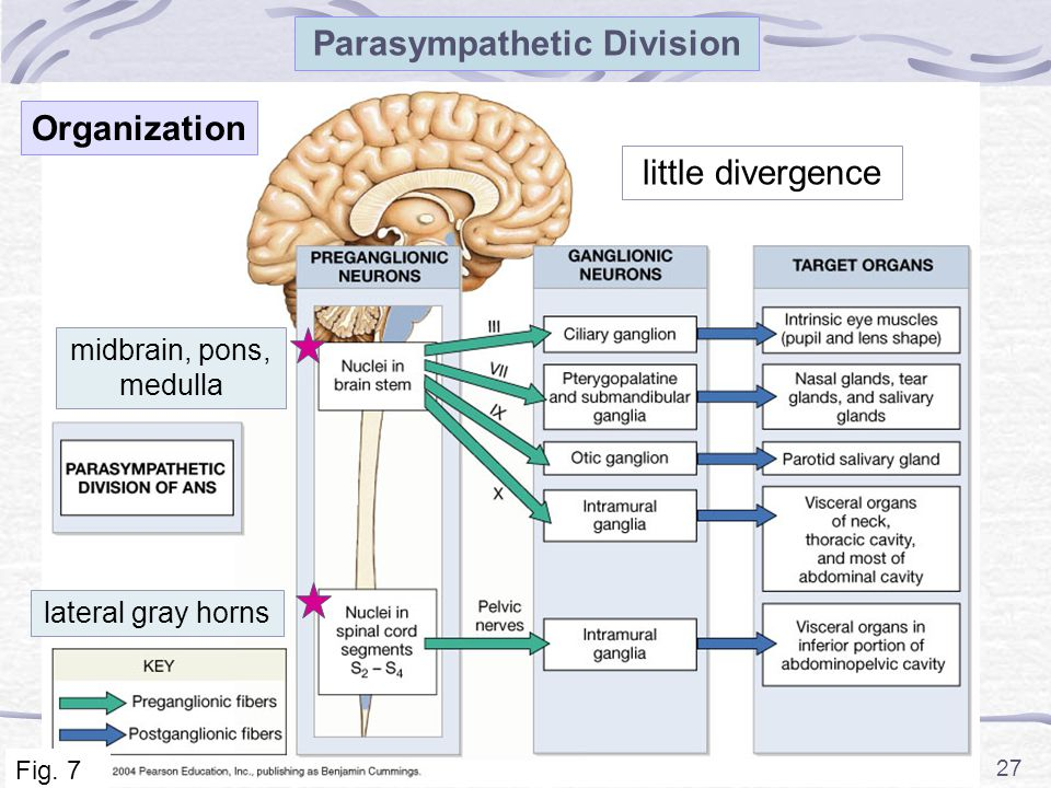 27 Parasympathetic Division little divergence lateral gray horns midbrain, pons, medulla Fig. 7 Organization