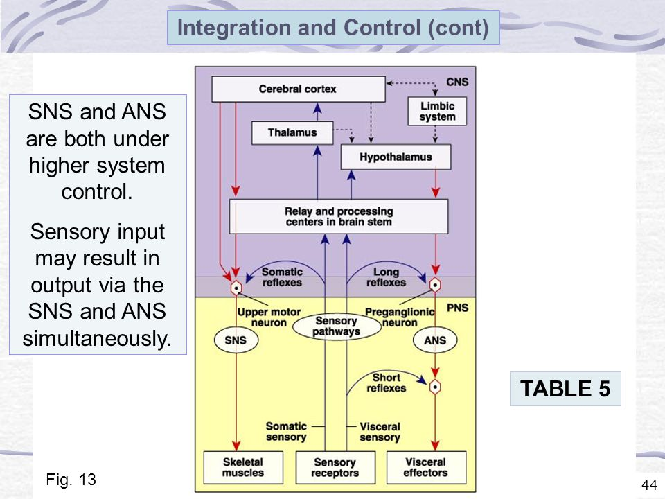 44 Integration and Control (cont) SNS and ANS are both under higher system control.