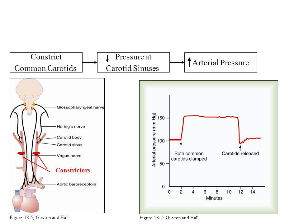 Constrict Common Carotids Constrictors Pressure at Carotid Sinuses Arterial Pressure Figure 18-5; Guyton and Hall Figure 18-7; Guyton and Hall