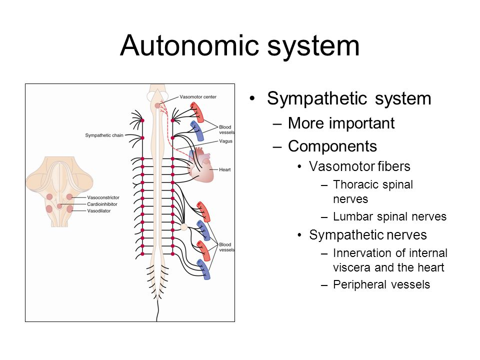 Innervation of blood vessels –Most tissues Not capillaries, precapillary sphincters, or metarterioles –Increased resistance for blood flow Decreased blood flow through the tissue –Decreased volume of vessels Veins Increased heart pumping