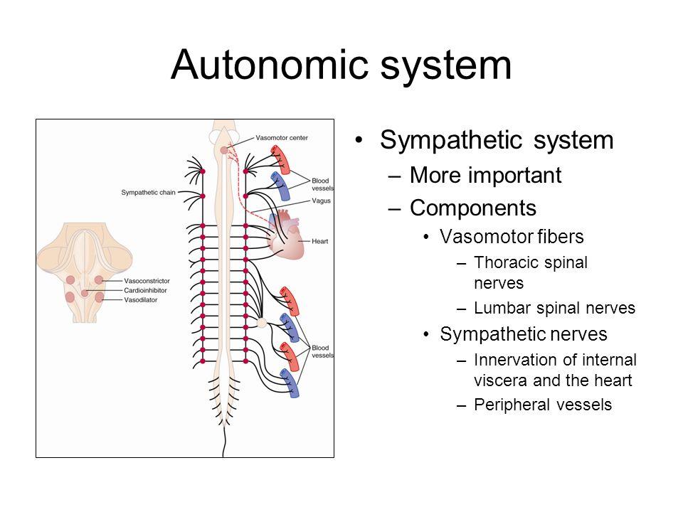 Autonomic system Sympathetic system –More important –Components Vasomotor fibers –Thoracic spinal nerves –Lumbar spinal nerves Sympathetic nerves –Inn