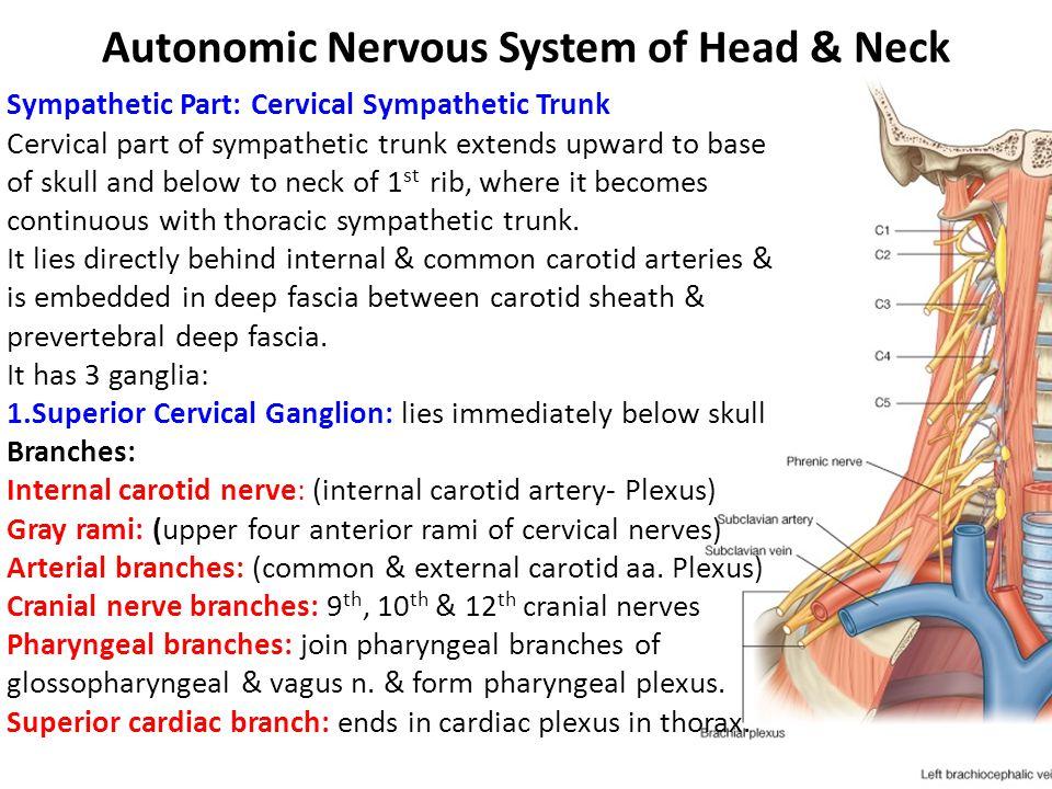 Autonomic Nervous System of Head & Neck Sympathetic Part: Cervical Sympathetic Trunk Cervical part of sympathetic trunk extends upward to base of skul