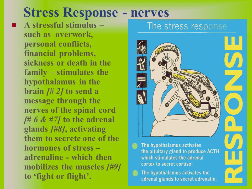 A stressful stimulus – such as overwork, personal conflicts, financial problems, sickness or death in the family – stimulates the hypothalamus in the brain [# 2] to send a message through the nerves of the spinal cord [# 6 & #7] to the adrenal glands [#8], activating them to secrete one of the hormones of stress – adrenaline - which then mobilizes the muscles [#9] to 'fight or flight'.