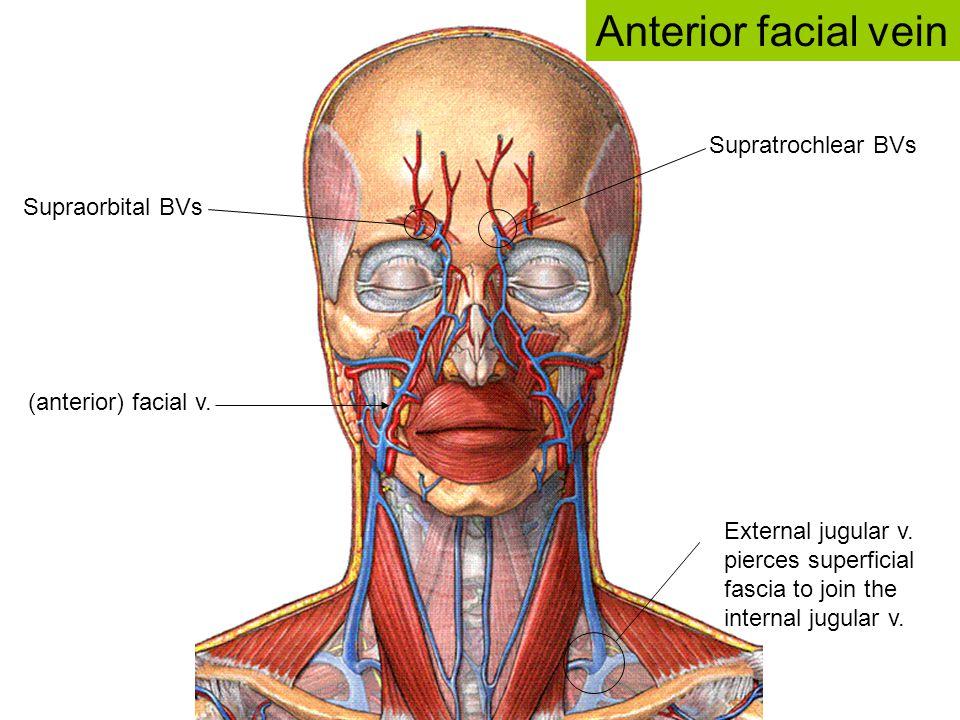 Supratrochlear BVs Supraorbital BVs (anterior) facial v. Anterior facial vein External jugular v. pierces superficial fascia to join the internal jugu