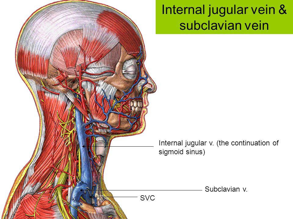 Internal jugular v. (the continuation of sigmoid sinus) Subclavian v. SVC Internal jugular vein & subclavian vein