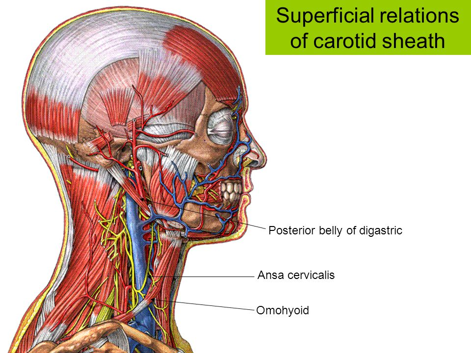 Ansa cervicalis Omohyoid Posterior belly of digastric Superficial relations of carotid sheath
