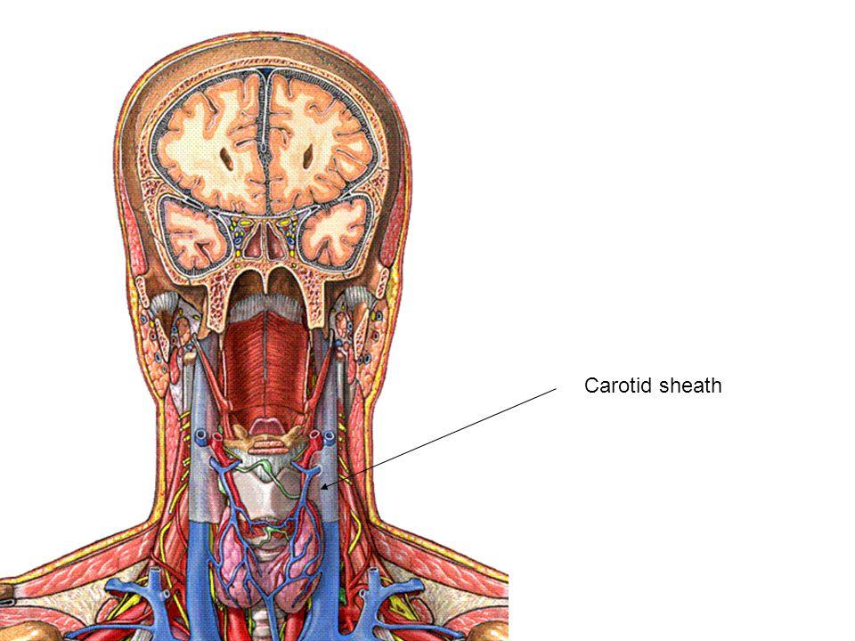 Carotid sheath
