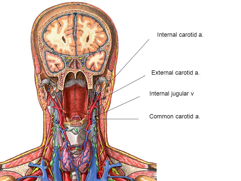 Common carotid a. Internal jugular v Internal carotid a. External carotid a.