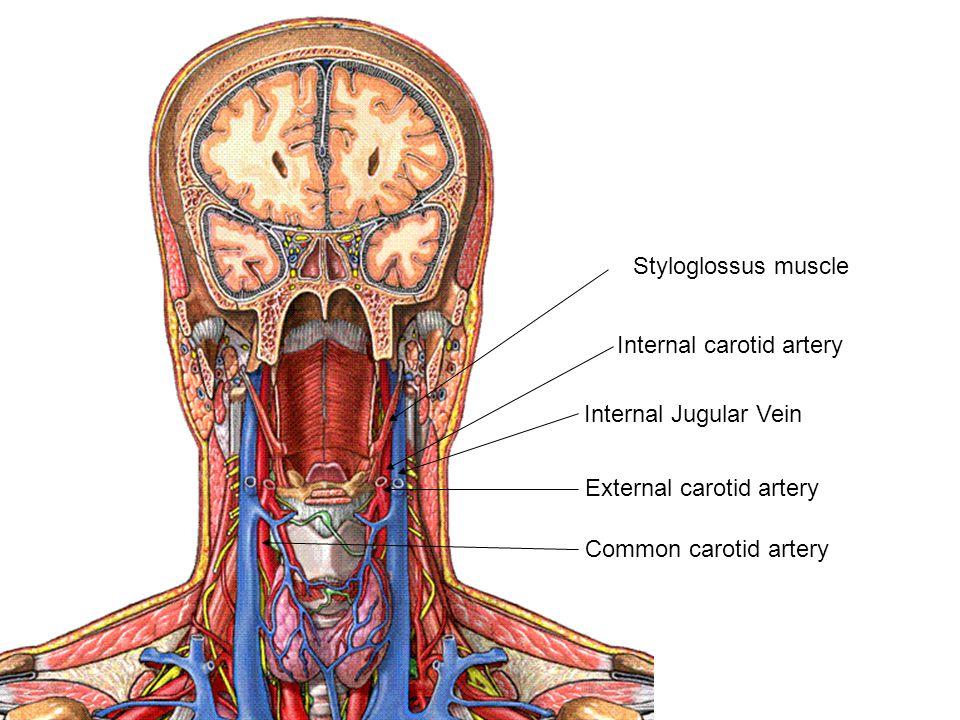 Internal carotid artery Internal Jugular Vein Styloglossus muscle External carotid artery Common carotid artery