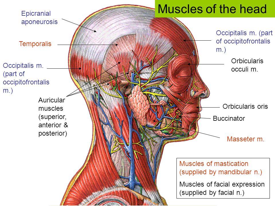 Occipitalis m. (part of occipitofrontalis m.) Epicranial aponeurosis Orbicularis occuli m. Orbicularis oris Temporalis Auricular muscles (superior, an