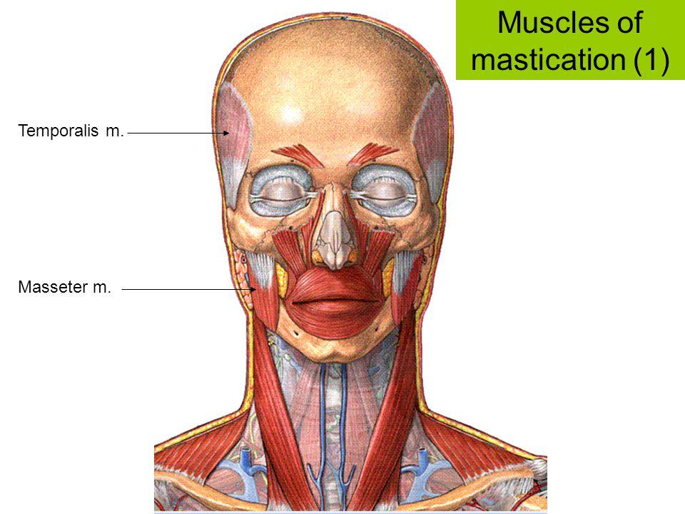 Masseter m. Temporalis m. Muscles of mastication (1)